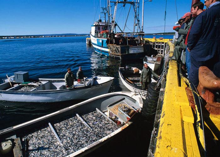 Raleigh Fishery Brings In Capelin
